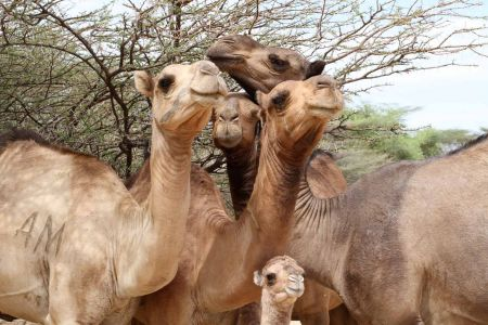 Camels of the Nachichechok Clan, these owned by Maitan, browsing South of the TBI Turkwel camp.