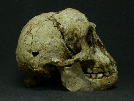 Image: Skull of Homo floresiensis. Photo credit: Michael J. Morwood.