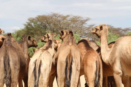 Camels turn their backsides to the camera.